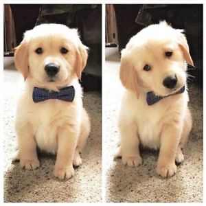 Cute puppy wearing a bowtie
